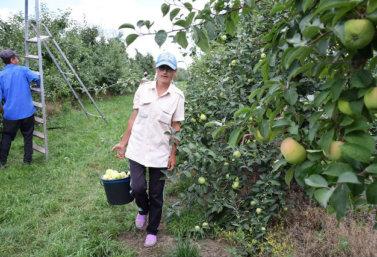 сбор яблок в ЗАО «Агрофирма им.15 лет Октября»